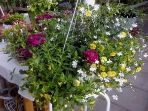 Blandade amplar är en av Härnevi plantskolas specialiteter