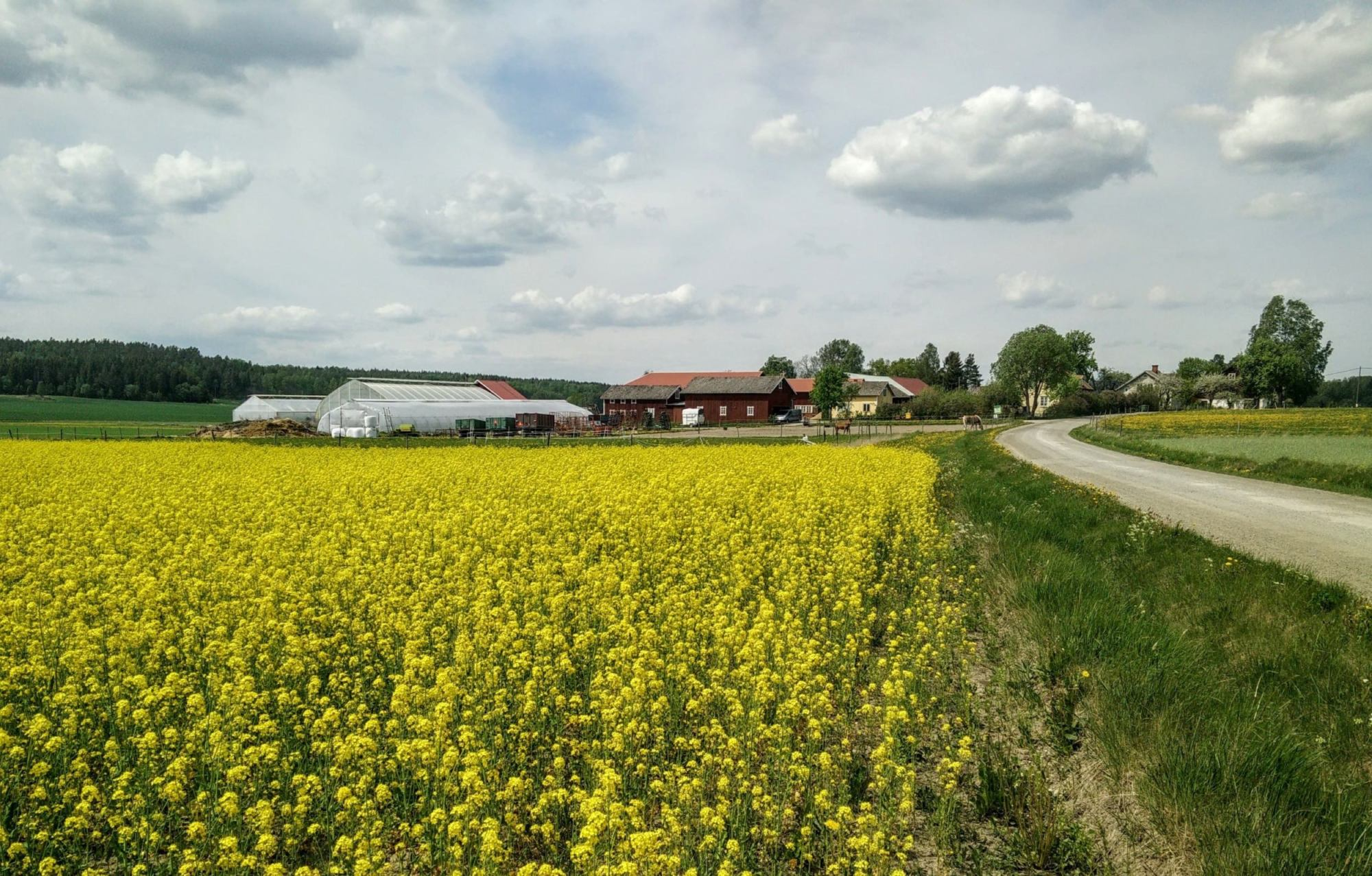Rapeseed field in front of Sörgården green