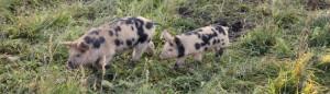 Linderöd Pig