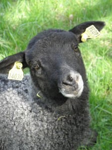 Lamb Vreta farm