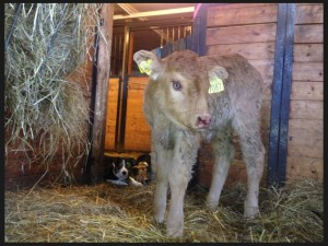 Calf at Retsa farm