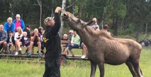 Meet moose in Gårdsjö moose park