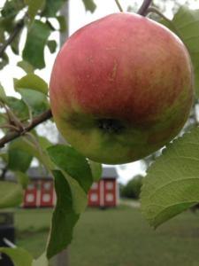 Äpple från Kvarnnibble