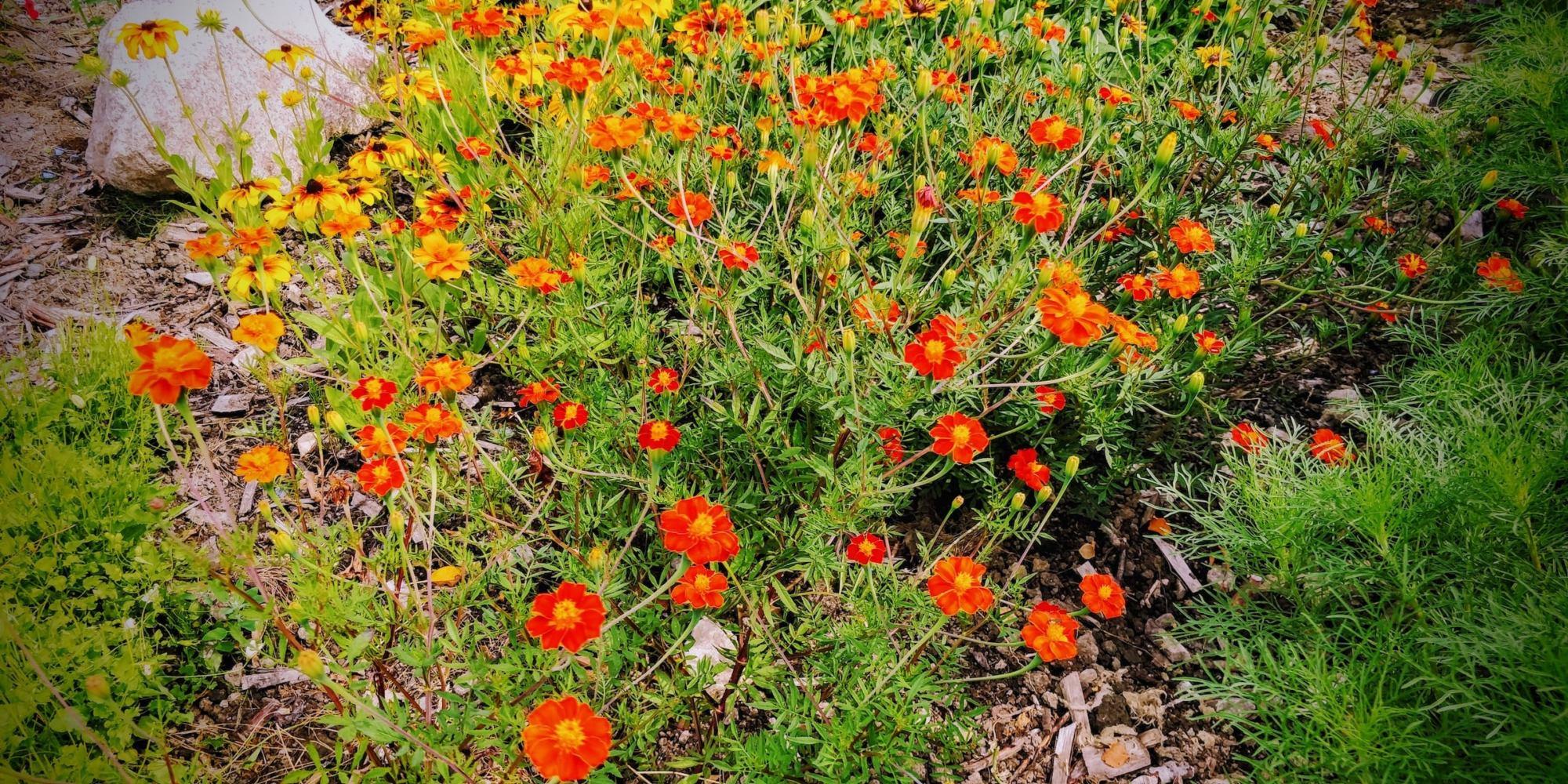 Tuva & Täppa - bild på blommor i rabatt