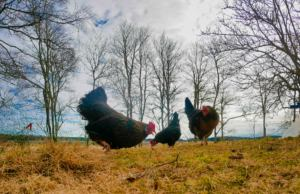 Easter chickens picking