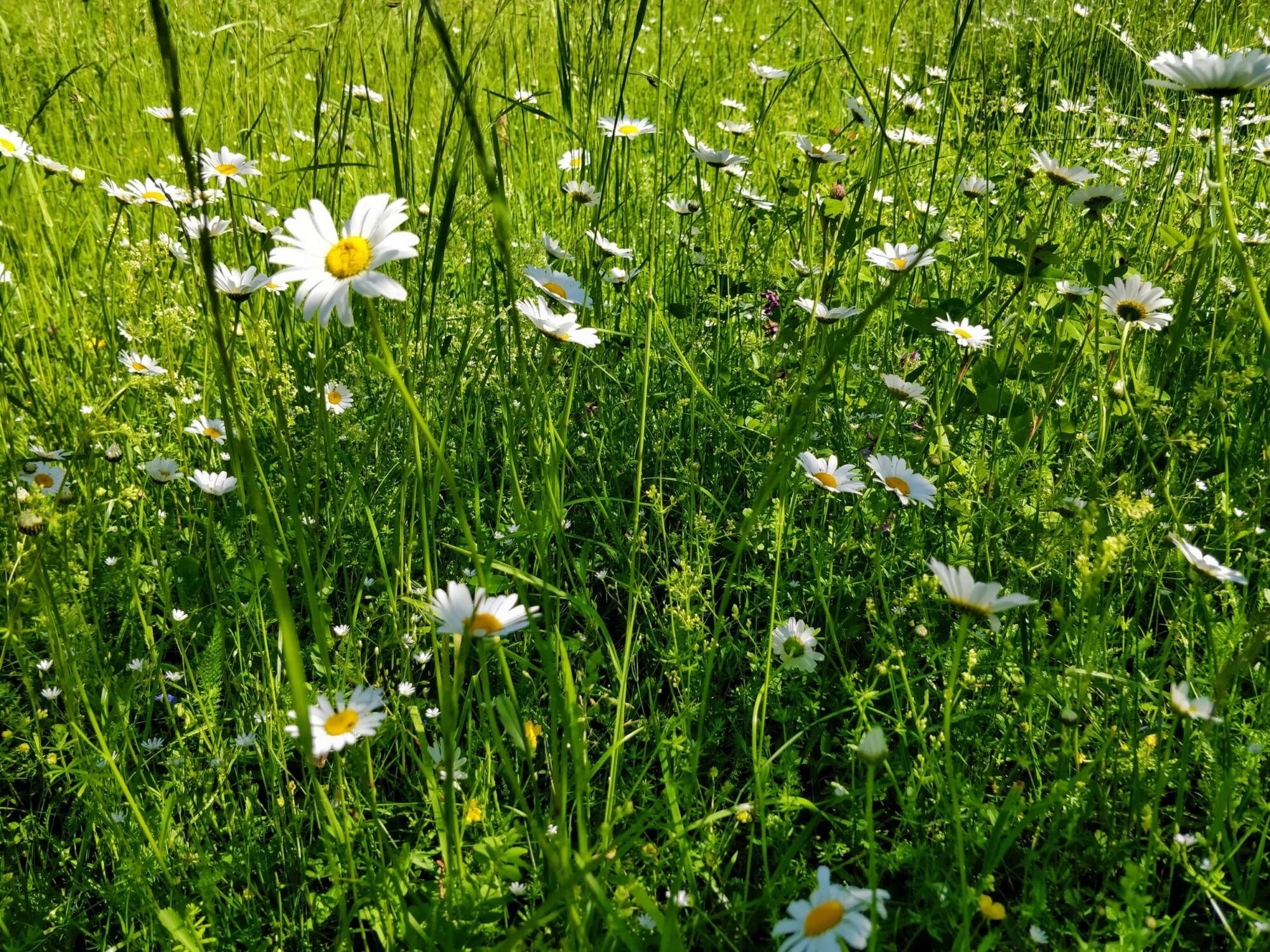 Meadow with daisies midsummer